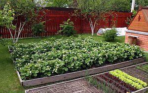 Как выращивать клубнику. Способы посадки и этапы развития | Дача - впро | Выращивание земляники | Постила