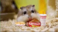 Hamster GIF - Find & Share on GIPHY
