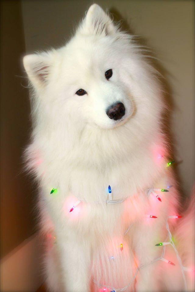 Merry Christmas Samoyed