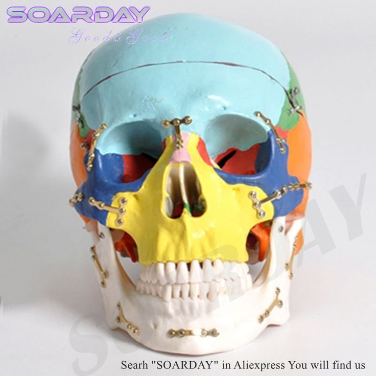 166.00$  Watch now  - SOARDAY Skull model with clolour Skull fractures fixed model hospital clinic doctor-patient communication simulation model