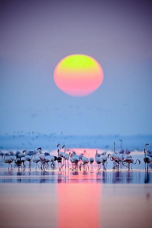 Flamingos, a joyous dawn...