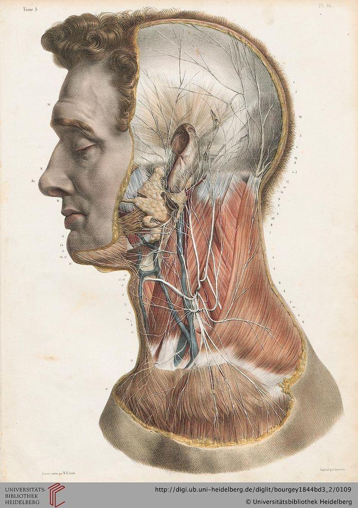 144 best Vintage Medical Illustration images on Pinterest | Anatomy ...