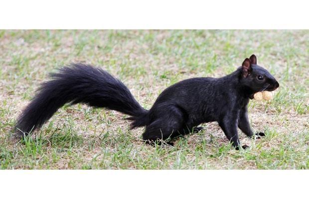 A bridge too fur: Westboro squirrel exodus gets fast reaction