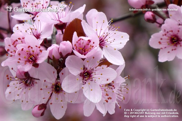 Blutpflaume (Prunus cerasifera 'Nigra')