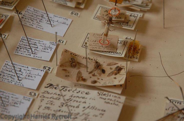 Livingstone's Tsetse fly.   Harriet Rycroft (HarrietRycroft) on Twitter