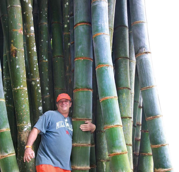 how to grow giant bamboo