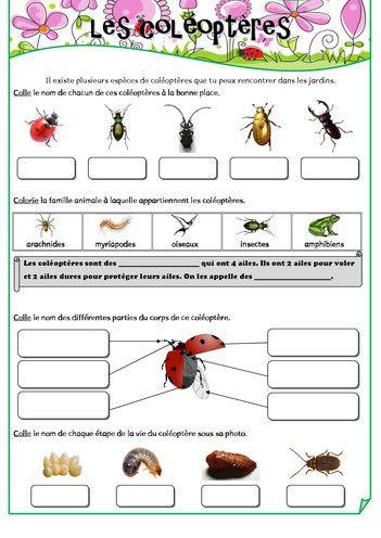 école-cycle 2-les coléoptères (coccinelles, scarabées, hannetons,...)