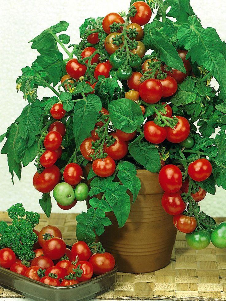 Cherry tomato seeds tasty cherries 500 bulk tomato seeds