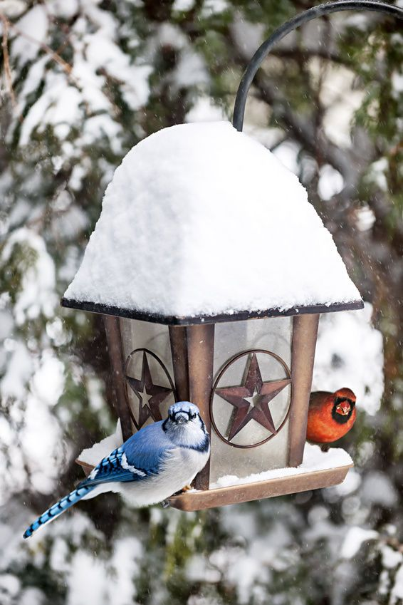How to Attract Blue Jays and Cardinals