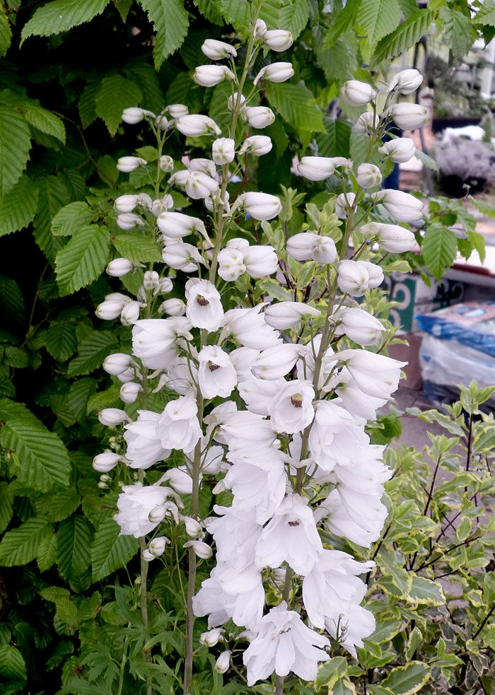 Delphinium grandiflorum 'Guardian White'