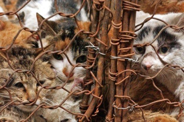 500 ekor kucing diselamatkan dari hampir jadi lauk makan malam   BEIJING: Pihak berkuasa berjaya menyelamatkan lebih 500 ekor kucing daripada menjadi mangsa makan malam penduduk di timur China.  500 ekor kucing diselamatkan dari hampir jadi lauk makan malam  Kucing itu diselamatkan selepas polis di bandar Jiujiang wilayah Jiangsu berjaya memberkas seorang lelaki yang disyaki menangkap kucing-kucing dan merancang untuk menjualnya kepada restoran-restoran di bandar lain lapor portal 163.com…