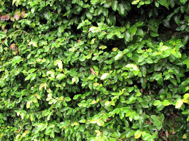Ficus Repens La enamorada del muro (Ficus repens) crece lentamente al principio con hojas pequeñas. A medida que va desarrollándose, las hojas alcanzan mayor tamaño y llega a formar tramas de gran espesor si no se poda regularmente, y a  veces puede desprenderse completamente.