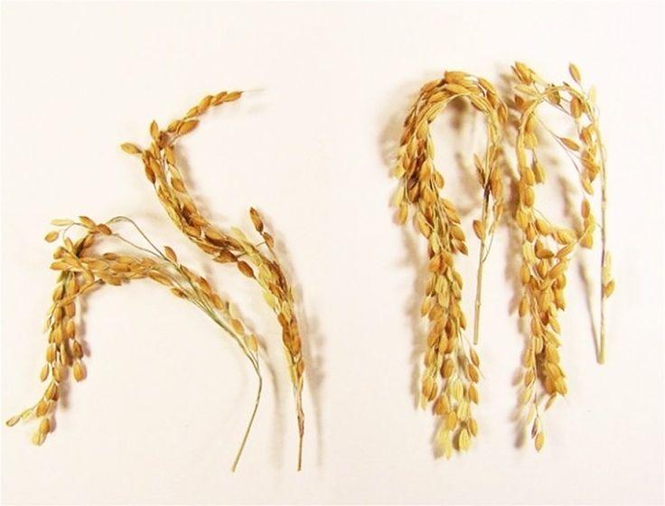 Nueva variedad de arroz que apenas genera gases de efecto invernadero