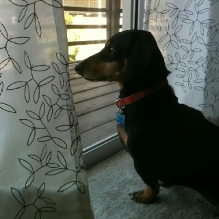 Guard dog...hahaWeinies Dogs, Neighborhood Watches, Dogs Doxie, Guard Dogs Repin, Maggie Watches, Dogs Http Bit Ly Hxfmef, Guard Dogs Haha, Favorite, Dogs Stelap