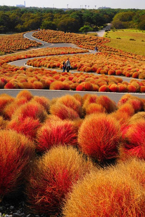 Kochia hills at Hitachi Seaside Park, Ibaraki, Japan ひたち海浜公園
