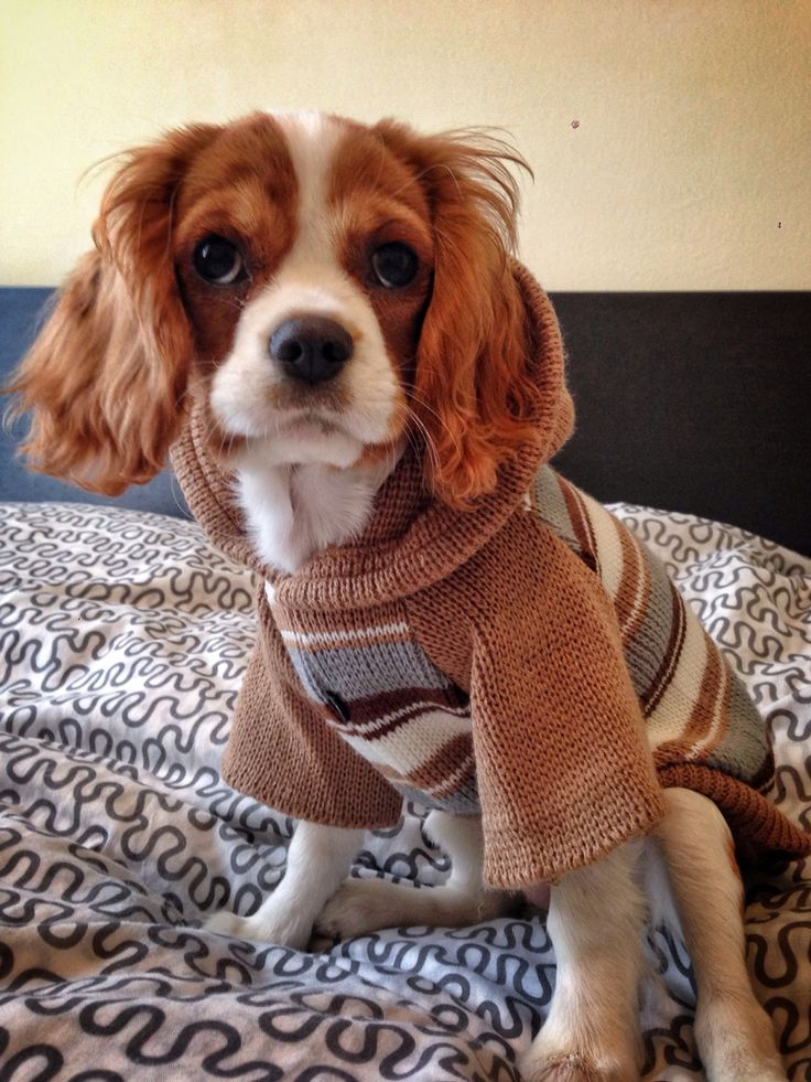 King Charles Cavalier  - Charlotte trying out our new outfit