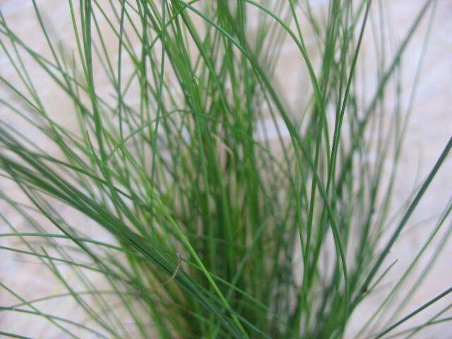 Eleocharis acicularis Dwarf Hairgrass https://aquariumwaterplants.com/search?q=Eleocharis+accicularis