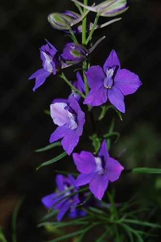 larkspur | Larkspur Flower Pictures & Meanings - Blue Larkspur Flowers