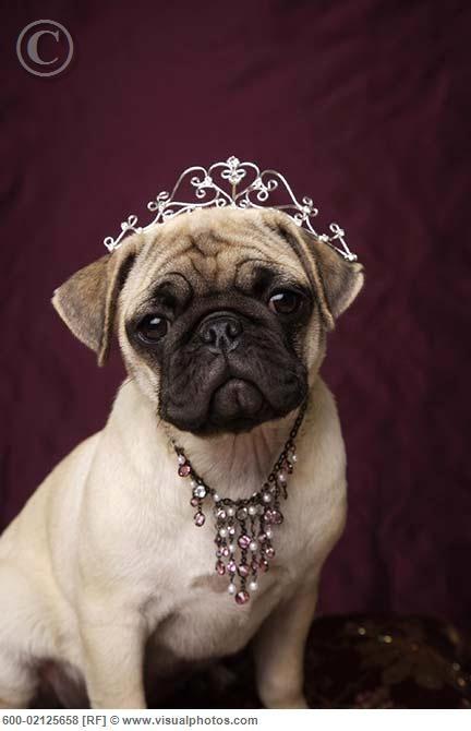 PRINCESS Pug...Pretty Pretty,  Pug-Dog, Pretty Princesses, Princesses Pugs, Dogs Jewelry, Pugs Life, Baby Pugs, Animal, Little Princesses