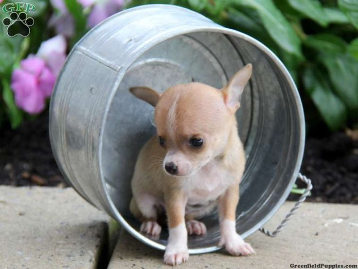 chihuahua for sale in pa perla chihuahua puppy for sale from paradise pa 6909