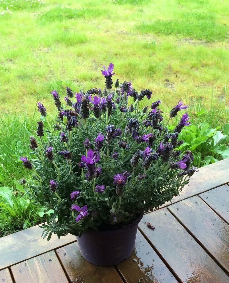 Har kjøpt mæ en Lavendel blomst :)
