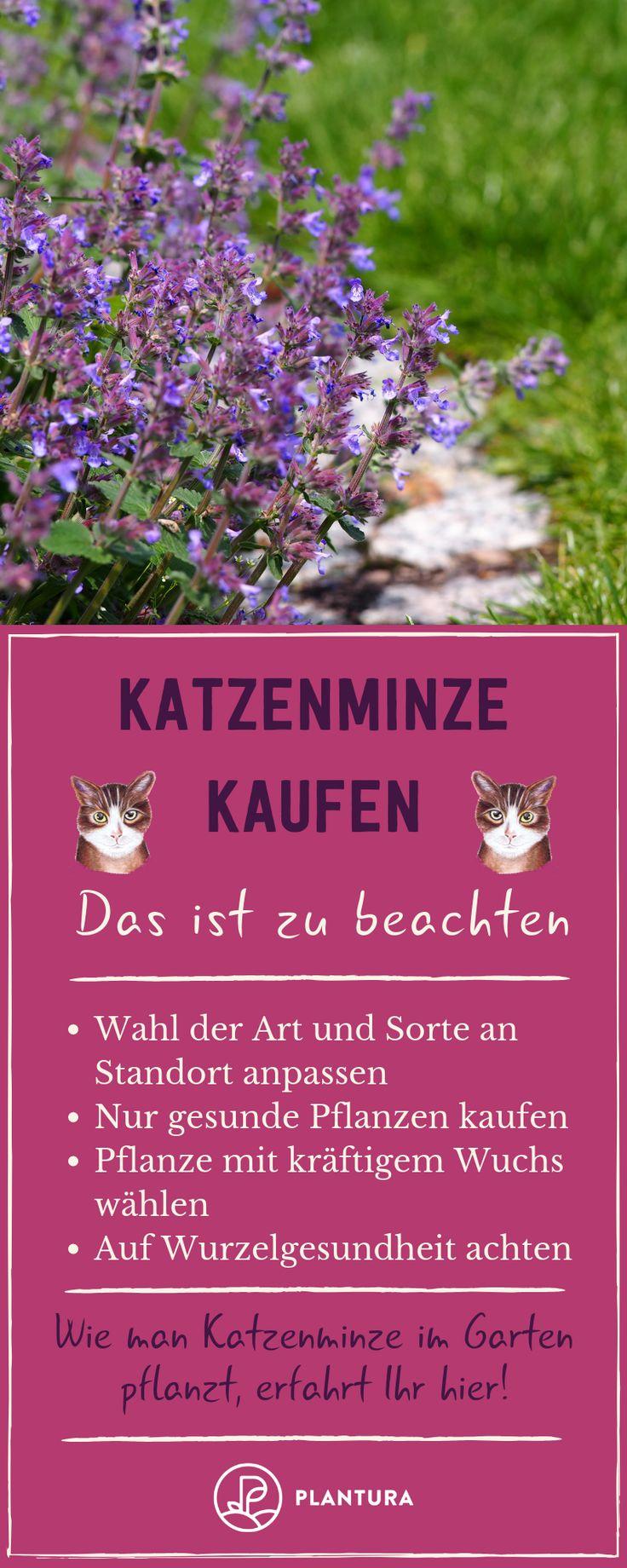 Katzenminze Kaufen Das Ist Zu Beachten Damit Euer Stubentiger Auch Von Der Pflanze Profitiert Haben Wir Hier Ein Paar N Catnip Catnip Plant Recycled Garden