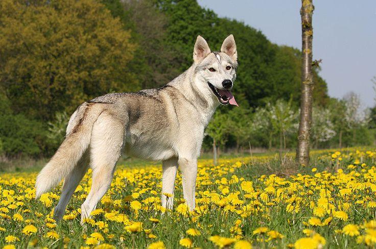 Tamaskan Dog Australia