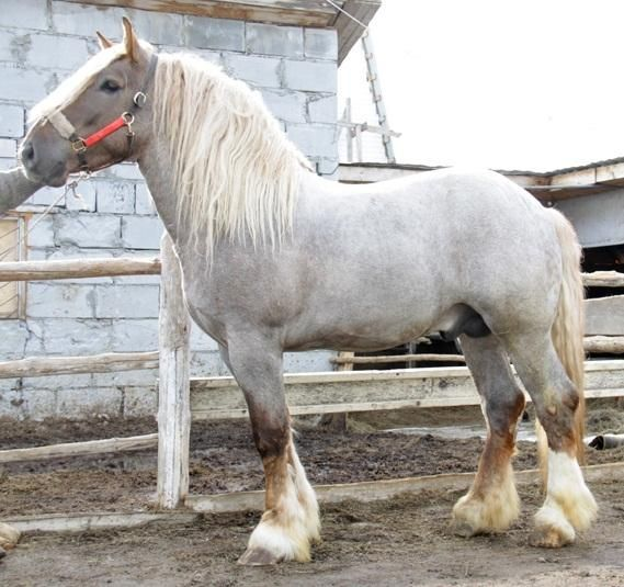 Horses for sale - Lithuanian Heavy Draft Horse Russia Just horse For sale Buyan