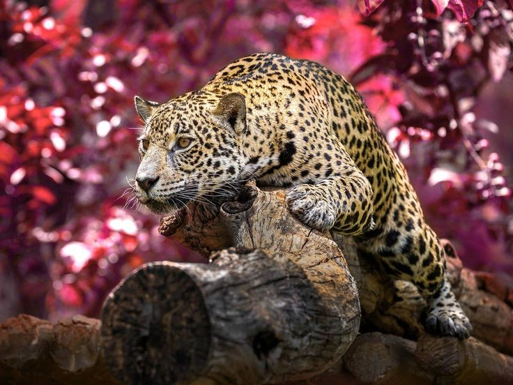 critically endangered Amur Leopard has a population of