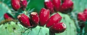 Prickly Pear Health Benefits | LIVESTRONG.COM