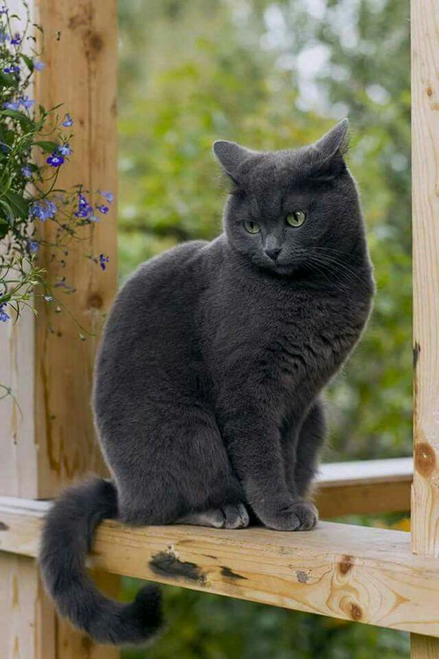 Russian Blue - Tap the link now to see all of our cool cat collections!