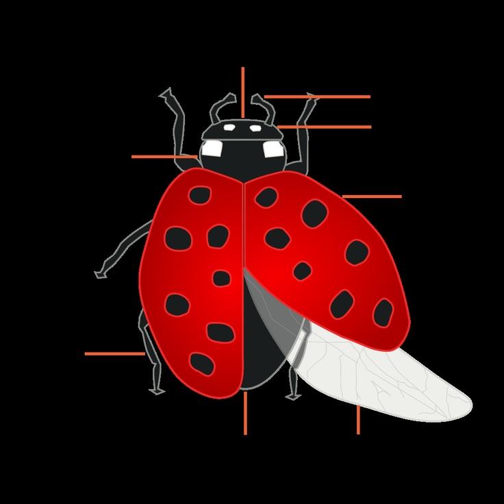 Ladybugs additionally ladybug body parts diagram on a ladybug diagram