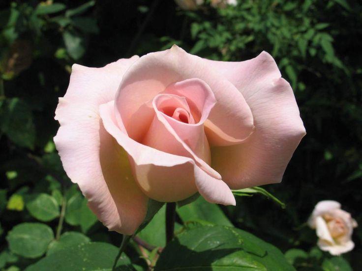 Губители роз