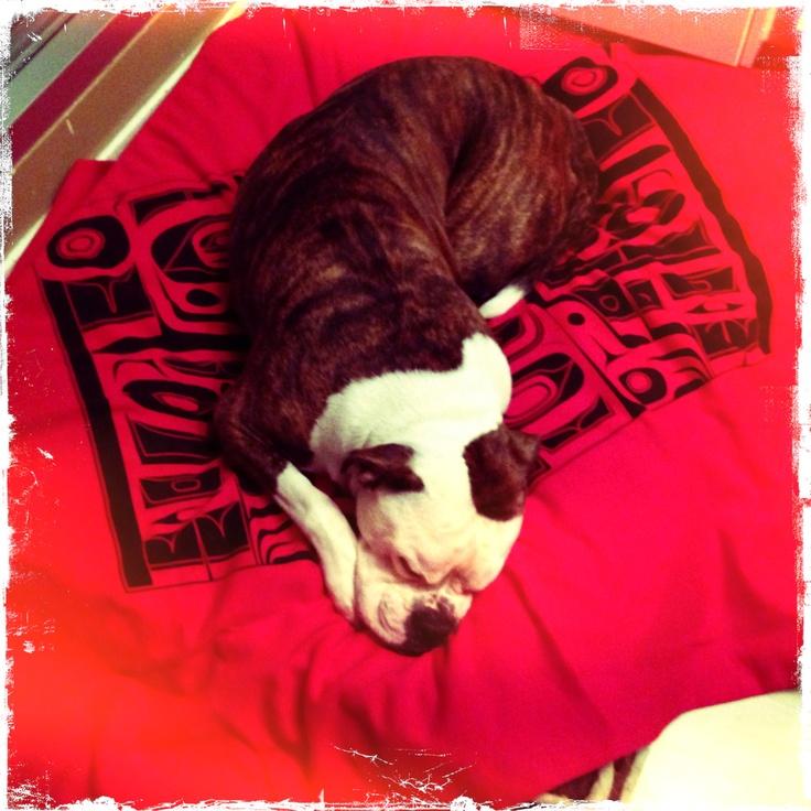 Our American Bulldog Tallah having a nap! http://northwestcoastgifts.com/products/haida-blanket $45.00