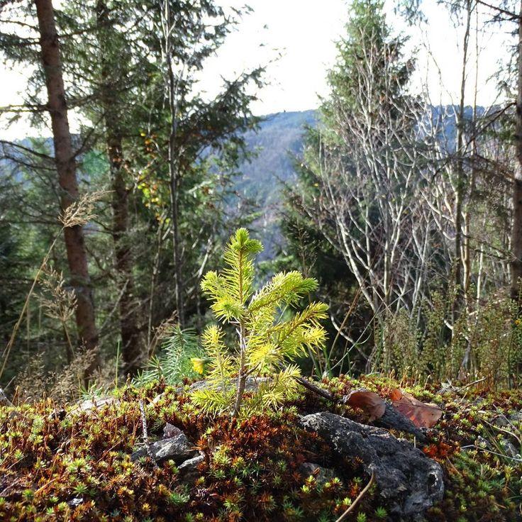 menzonyMini tree #sonyphotography #sonyhx400v #naturephotography #nature #bestnatureshots #bestnature #tree #newtree #boom #boompjes #boompje #waldspaziergang #boswandeling #schwarzwald #herfst #herbst #fall #walkinthewoods #hochschwarzwald