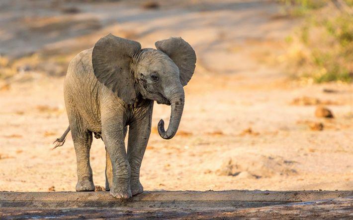 تحميل خلفيات الفيل الصغير, الحيوانات لطيف, أفريقيا, الحياة البرية, سفاري, الفيلة