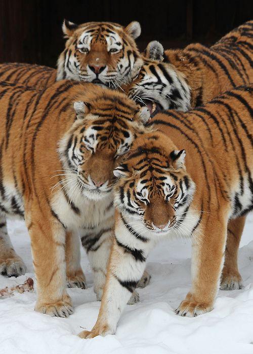 Amazing wildlife - Tigers family photo #tigers by Tomas Öhberg