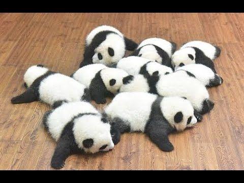 パンダ可愛い動画 cute panda videos - YouTube