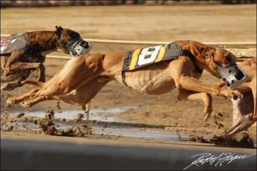 Greyhound 3 Google Image Result for http://greyhounddogsite.com/wp-content/uploads/greyhound-racing.jpg
