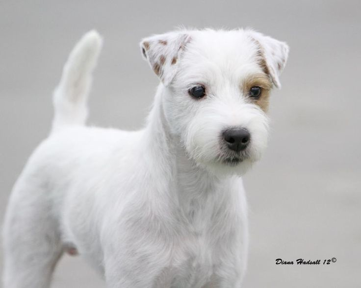 long haired jack russell terrier puppies for sale long haired jack russel our willow s breed super 8762