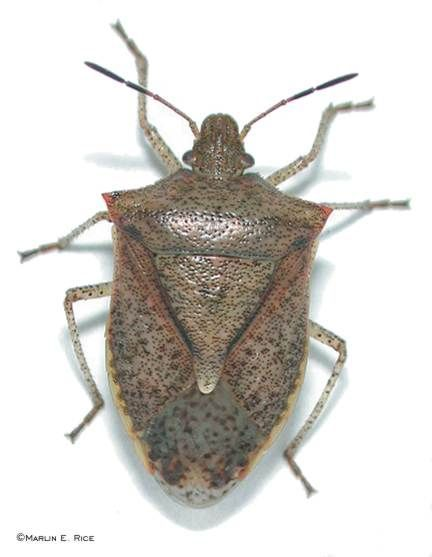 Stink or soldier bug - how do you tell? - Garden Clinic Forum - GardenWeb