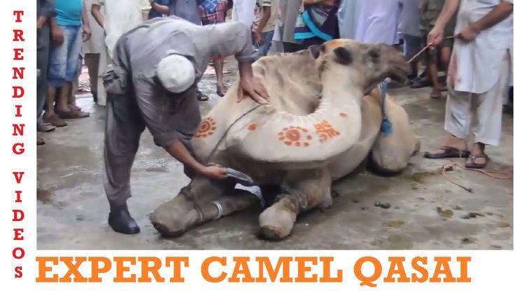 Professional Camel Qasai | Full HD - Eid ul Adha - Qurbani Videos