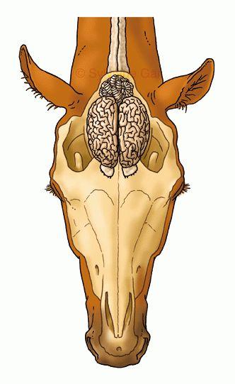 L\'anatomie du cheval dans son ensemble - Hippologie.fr | hippologie ...