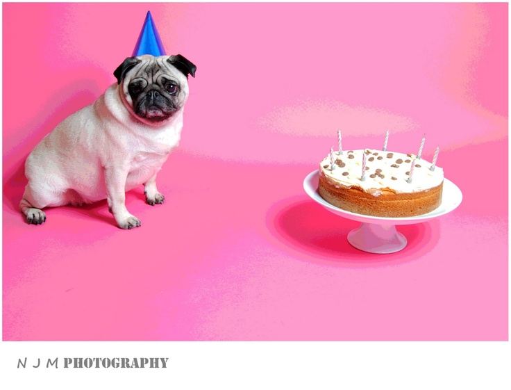 N J M Photography: Happy Birthday Pug : Studio Session : Pet Photography