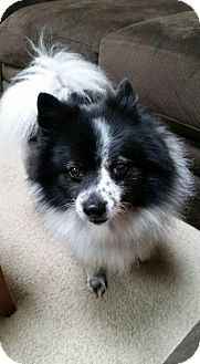 Rochester Ny Pomeranian Meet Mr Freckles A Dog For Adoption Http Www Adoptapet Com Pet 14504455 Rochester New York Pomeranian Hondjes