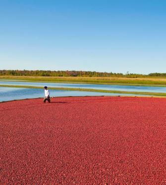 A fall journey to explore Wisconsin's cranberry harvest: http://www.midwestliving.com/travel/wisconsin/wisconsin's-fall-cranberry-harvest/