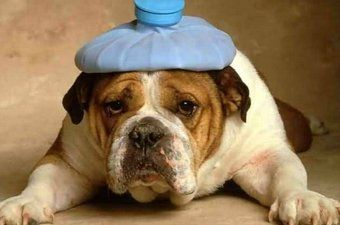 Raszuivere honden zijn een garantie voor ellende. Erfelijke aandoeningen, zoals  epilepsie, heupdysplasie en een te smalle luchtpijp zijn een groot probleem bij rashonden.  Even lang heeft de rashondenwereld dit probleem vrijwel genegeerd. Als je echt om honden geeft, neem dan een mix in huis. Betere gezondheid en als je er een uit een (buitenlands) asiel haalt heb je er ook nog veel voldoening en dankbaarheid door.