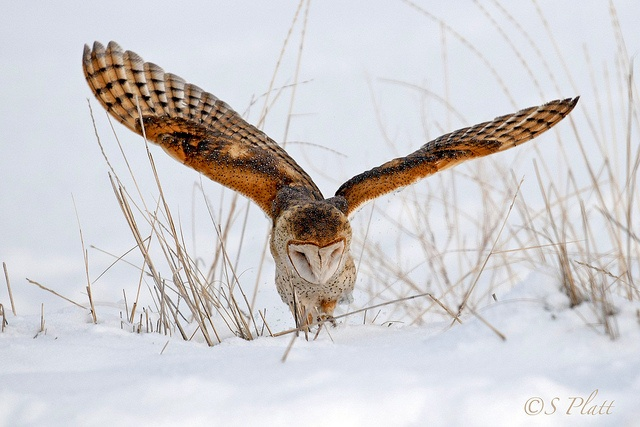 Tip Toe Through the Snow (sorry... no tulips) by raptor wack, via Flickr