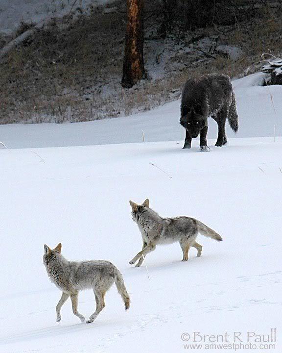 Wolf Vs Coyote