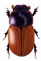 """""""Helsingin yliopiston tutkijat ovat havainneet, että lantaläjissä elävät kovakuoriaiset saattavat kuitenkin vähentää keskeisen kasvihuonekaasun, metaanin, päästöjä."""""""